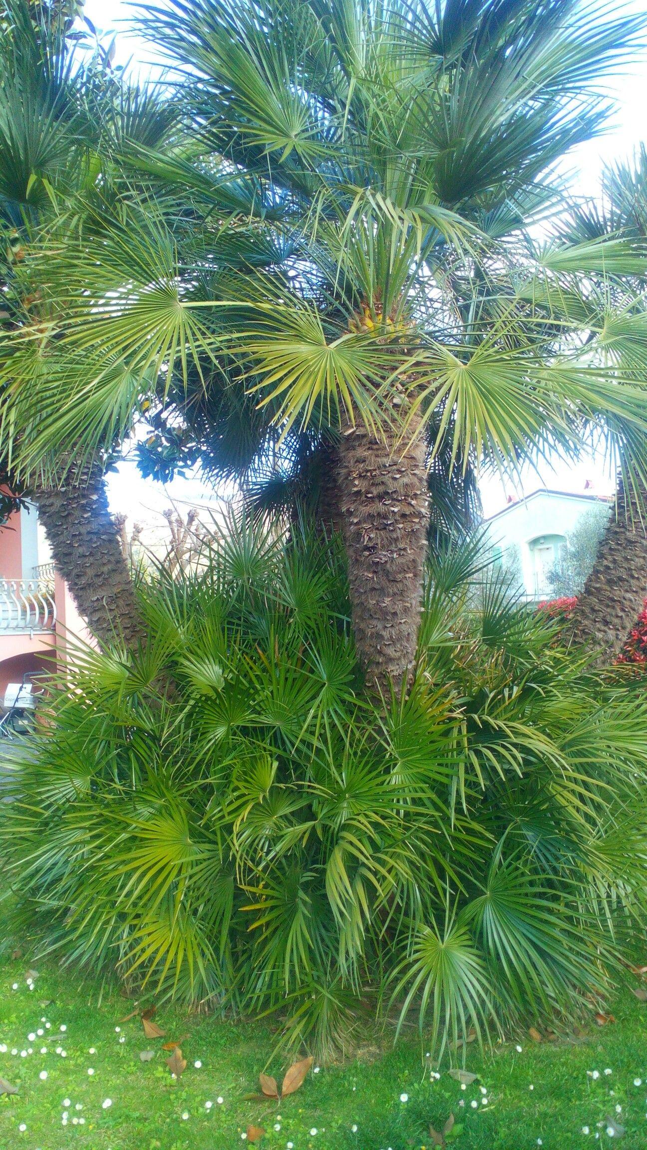 Palme Da Vaso Per Esterno varietà di palma (a ventaglio)   palme, ventagli