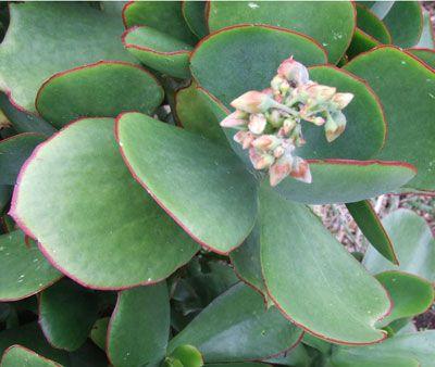 Listado con fotos fichas suculentas y crasa for Lista de plantas de sombra