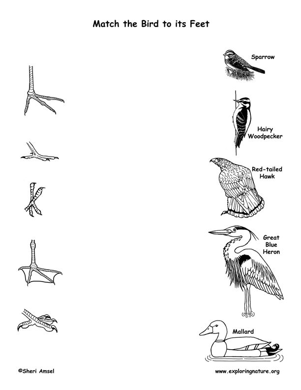 Bird beak adaptations for food - worksheet for grade 3 and 4 ...