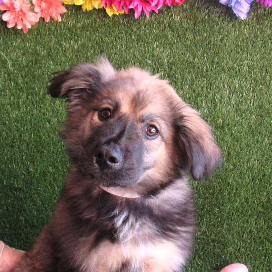 Goji S One Of The Coolest Breeds We Ve Seen In A Long Time He S A Anatolian Shepherd Blend Puppy And Would Love To Go Home Wi Puppy Adoption Dogs Dog Adoption