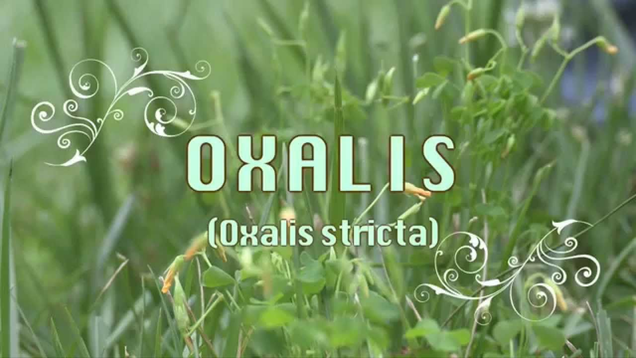 Herbs n pasture oxalis sour clover good for parasites