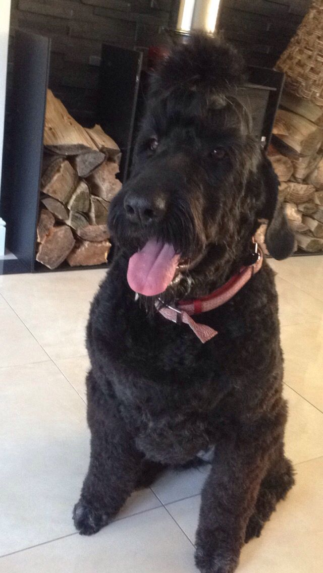 Mika My Black Russian Terrier Grooming Scruffs2crufts South East