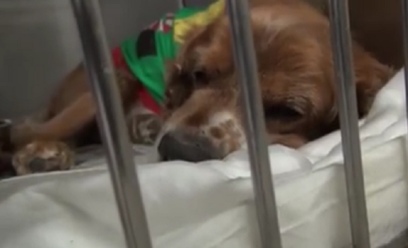 Heartbroken Senior Pup Surrendered To Shelter Still Wearing His Favorite Christmas Sweater Old Dogs Dog Wear Dogs