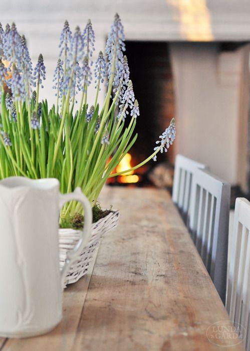 Grape hyacinths on an old farm table