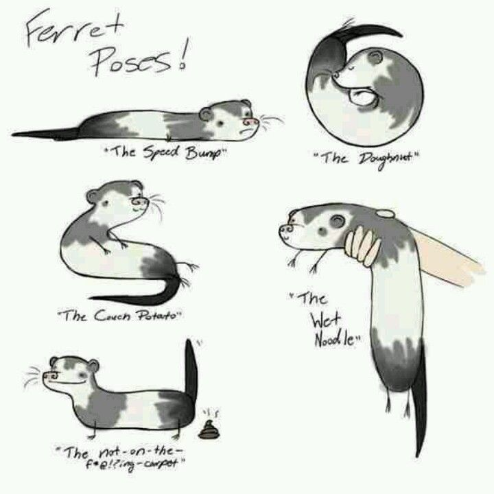 Black Crab Pose Meme: Pet Ferret, Funny Ferrets, Ferret