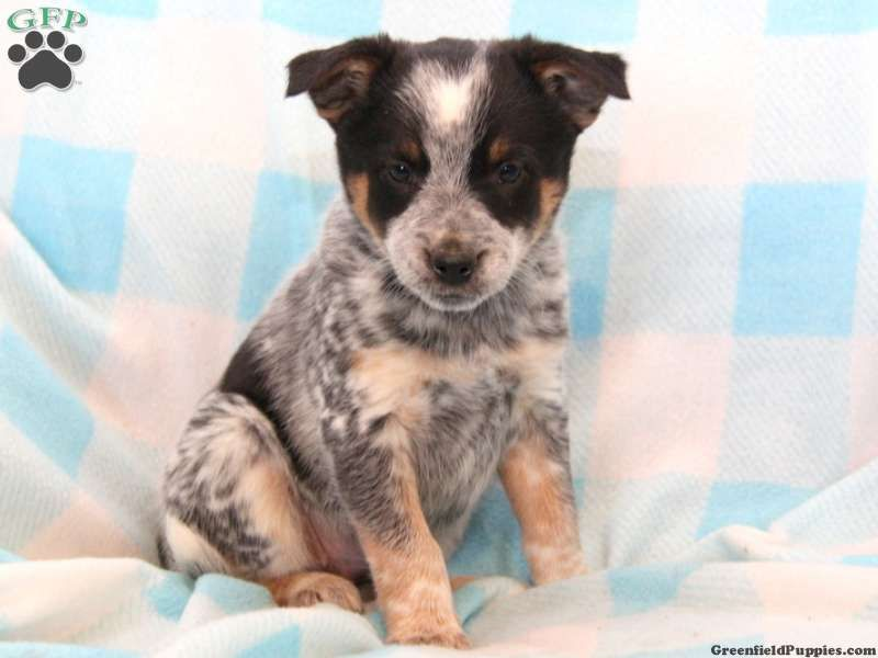 Rascal Blue Heeler Puppy For Sale In Narvon Pa Blue Heeler Puppies Heeler Puppies Blue Heeler