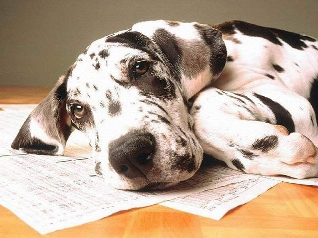 Great Dane Puppy Popular Names Dane Dog Great Dane Puppy Great