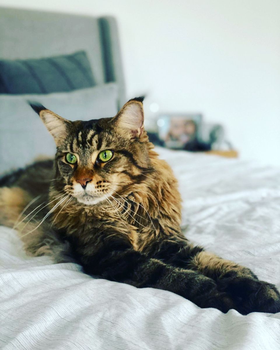 Our Bertie Chilling in 2020 Pets, Luxury pet, Cat furry