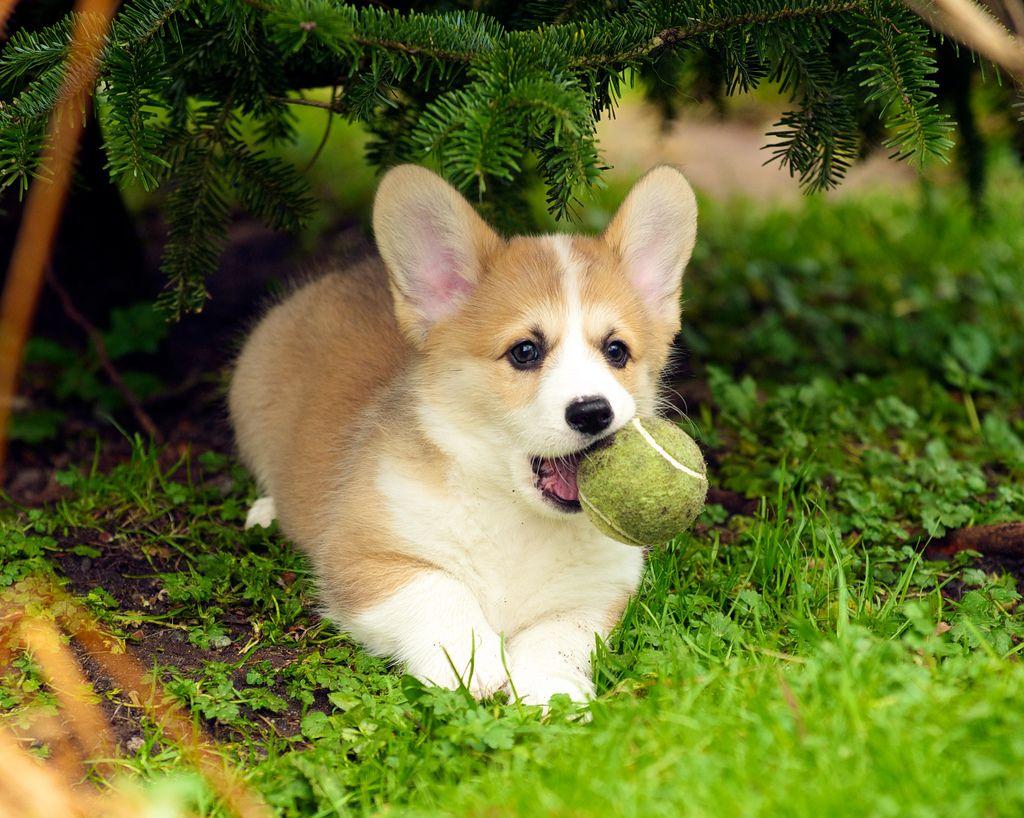 Tennis Ball Corgi Corgi Tiny Dog Breeds