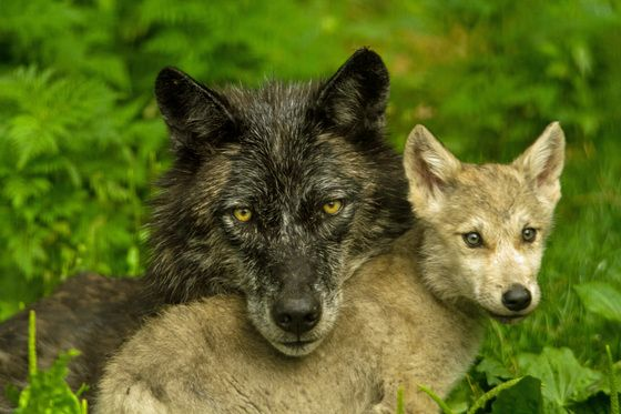 Mom And Pup Wolf Photos Baby Wolves Baby Wolf