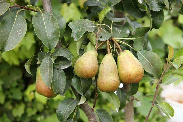 Peral. Los perales comunes, científicamente conocidos con el nombre de Pyrus communis, son árboles frutales de la familia de las rosáceas. Su origen se localiza en Europa oriental y Asia menor. En estas zonas se viene cultivando desde el año tres mil antes de Cristo y se han encontrado restos arqueológicos que así lo certifican.