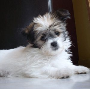 Chihuahua Shih Tzu Hybrid Dogs I Don T Like Small Dogs But