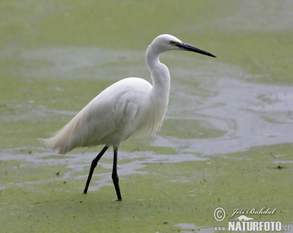 Egret | Little Egret Photos, Little Egret Images | NaturePhoto-CZ