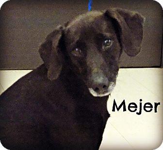 Labrador Retriever Mix Dog For Adoption In Defiance Ohio Mejer