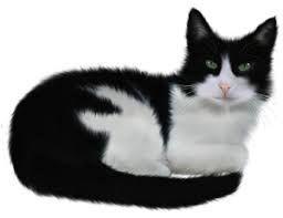 Chat Noir Et Blanc Animals Cats Cute Cats