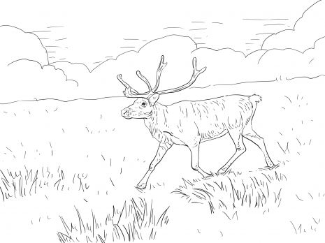 Finnish Forest Reindeer Coloring Page Super Coloring Deer Coloring Pages Animal Coloring Pages Coloring Pages