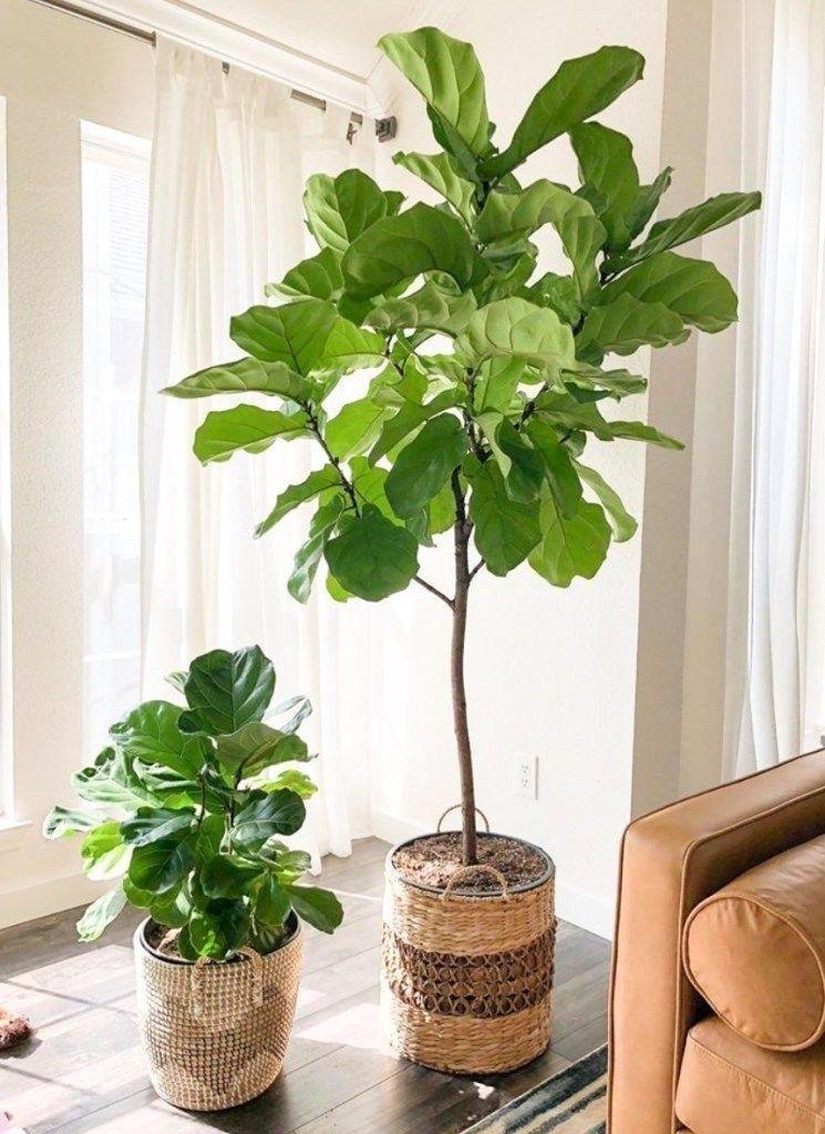 Lovely Indoor Plant Ideas39 Fiddle leaf fig care, Plants