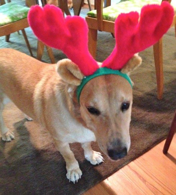 Brewster Labrador Retriever Basset Hound Mix 4 Years Male Say