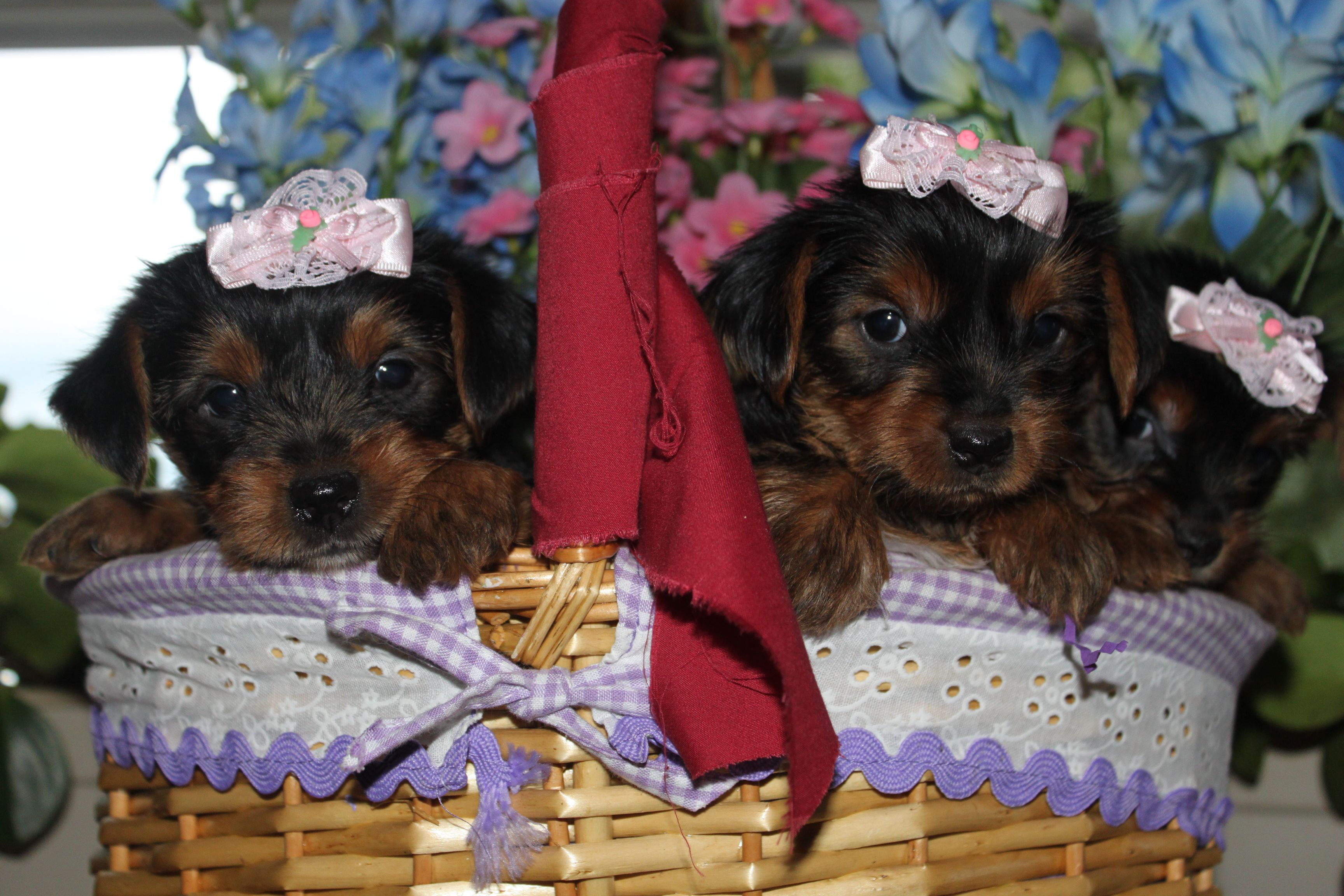 a cute set of yorkie puppies for sale, you can view them