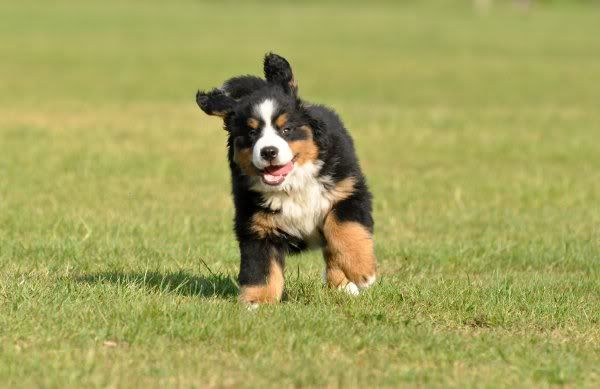 Bernese Mountain Dog - Lola at 10 weeks and about to take off!