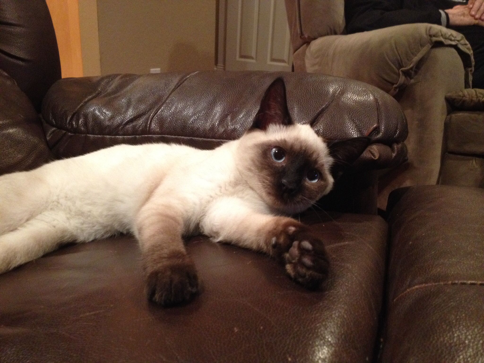 Seal Lynx Point Siamese Kitten Siamese Cats Cats And Kittens Tonkinese Cat