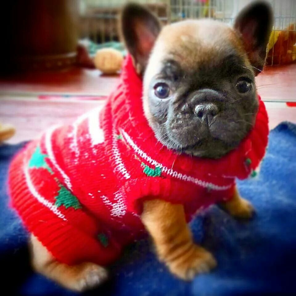 french bulldog in a christmas sweater french bulldog clothes french bulldog puppies french