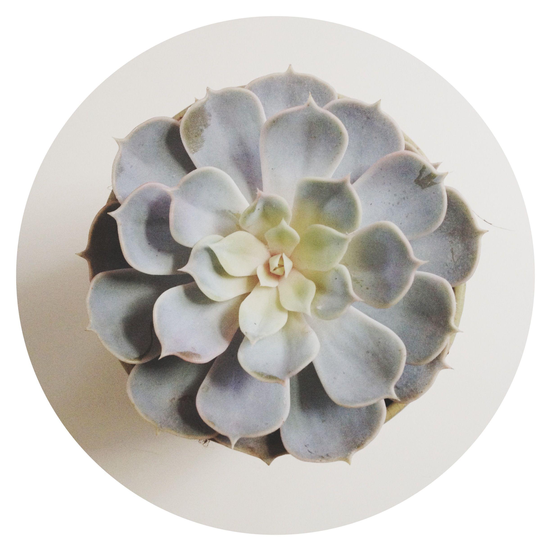 Une Joli Succulente En Forme De Fleur Echeveria Pelusida
