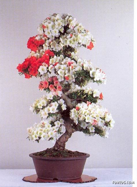 Un extraño bonsai japonés. ¡Muy bonito!