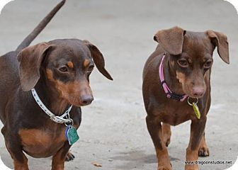 Spokane Wa Dachshund Miniature Pinscher Mix Meet Aero Daphne