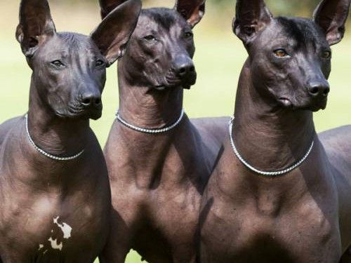 Mexican Hairless Dog Dog Breeds By Fci Http 2puppies Com