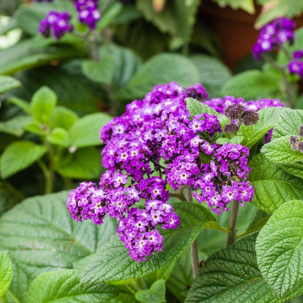 Heliotrop Ogrodowy Sklep Swiat Kwiatow Dostawa Gratis Plants Strawberry Planters Plant Pests