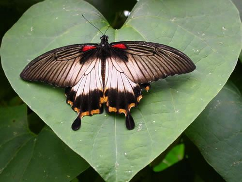 Name: Great Mormon - female Latin: Papilio memnon Family: Papilionidae Origin: The Philippines Food plant: Citrus Family