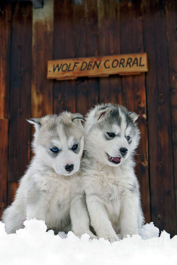 Nature Planet Siberian Husky Puppies Rolf Kopfle Husky