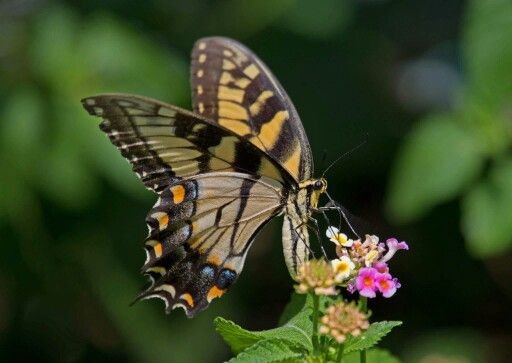 ♡♡♡ Tiger Swallowtail near Charleston, South Carolina by Naturally Jim Allen 16 August 2015 ♡♡♡