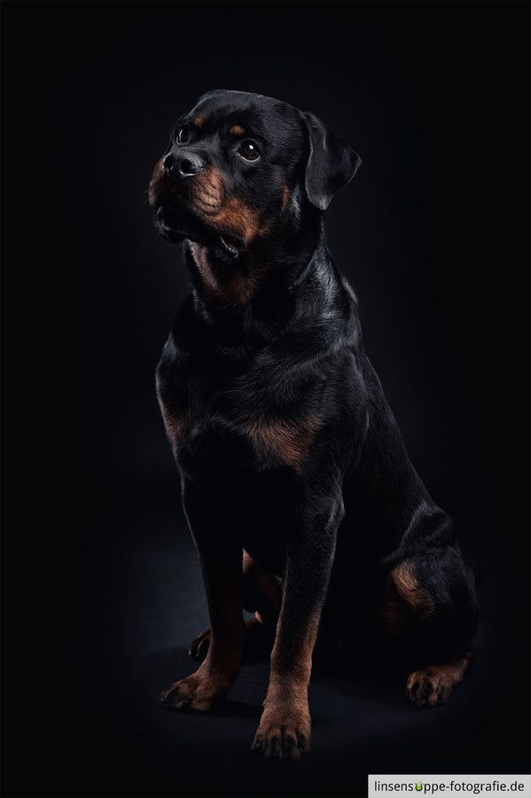 Photo rottweiler on black background by linsensuppe -  fotografie on 500px