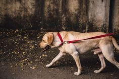 Photo of This way your dog will no longer pull on the leash