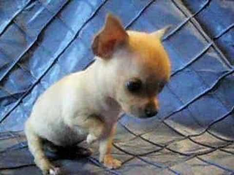 Short And Cobby Micro Teacup Pocket Chihuahua Chihuahua