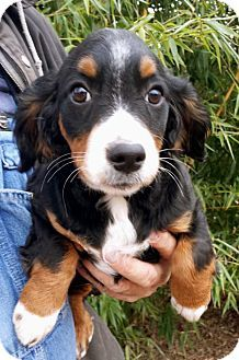 Hagerstown Md English Springer Spaniel Mix Meet Puppy Kelly A