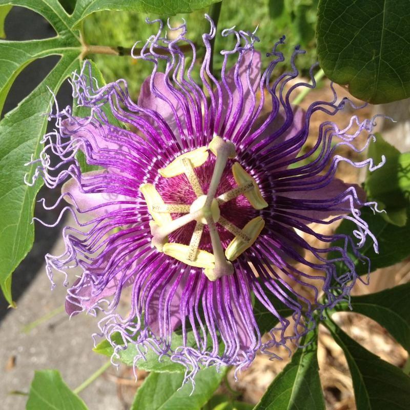 Passion Flower In 2020 Passion Flower Plant Passion Flower Fragrant Flowers