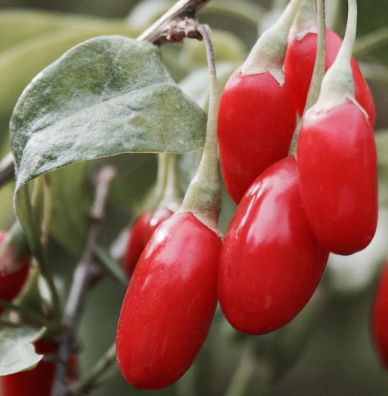 Buy Goji Berry Plant Lycium Barbarum Dynamite Canada Berry