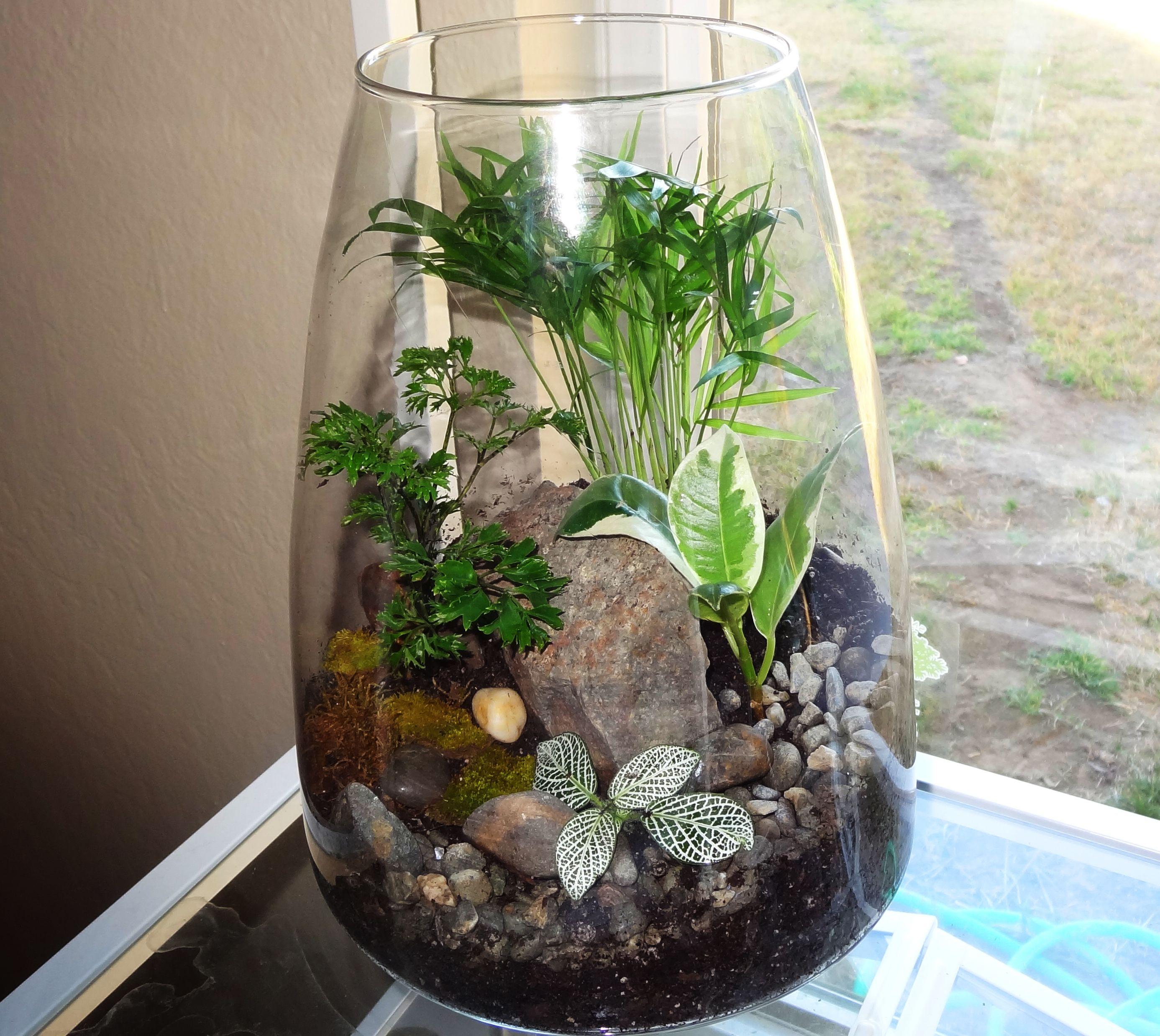 Terrarium with neanthe bella palm, ficus, and aralia parsley.