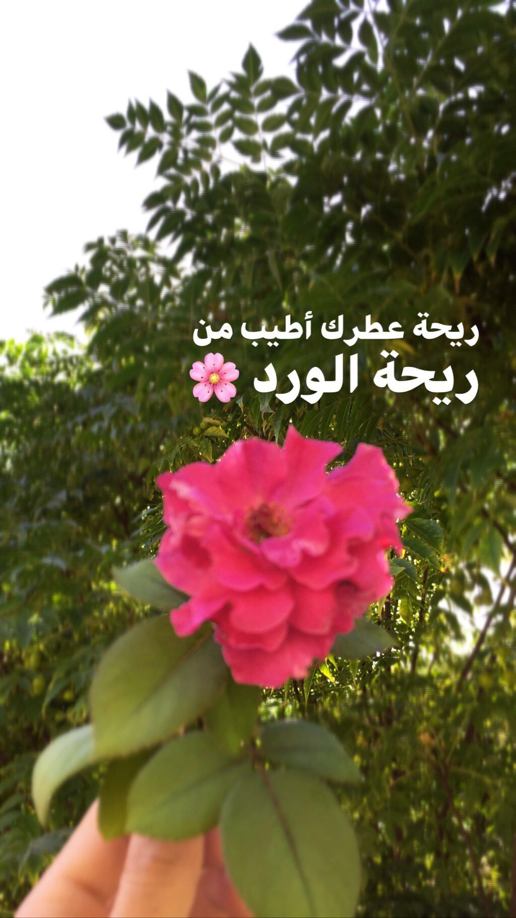 Pin By خمر On اقتبس Rose Plants Instagram