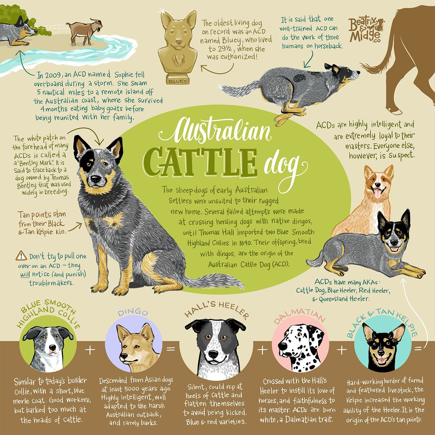 Australian Cattle Dogs—also known as Blue Heelers, Red