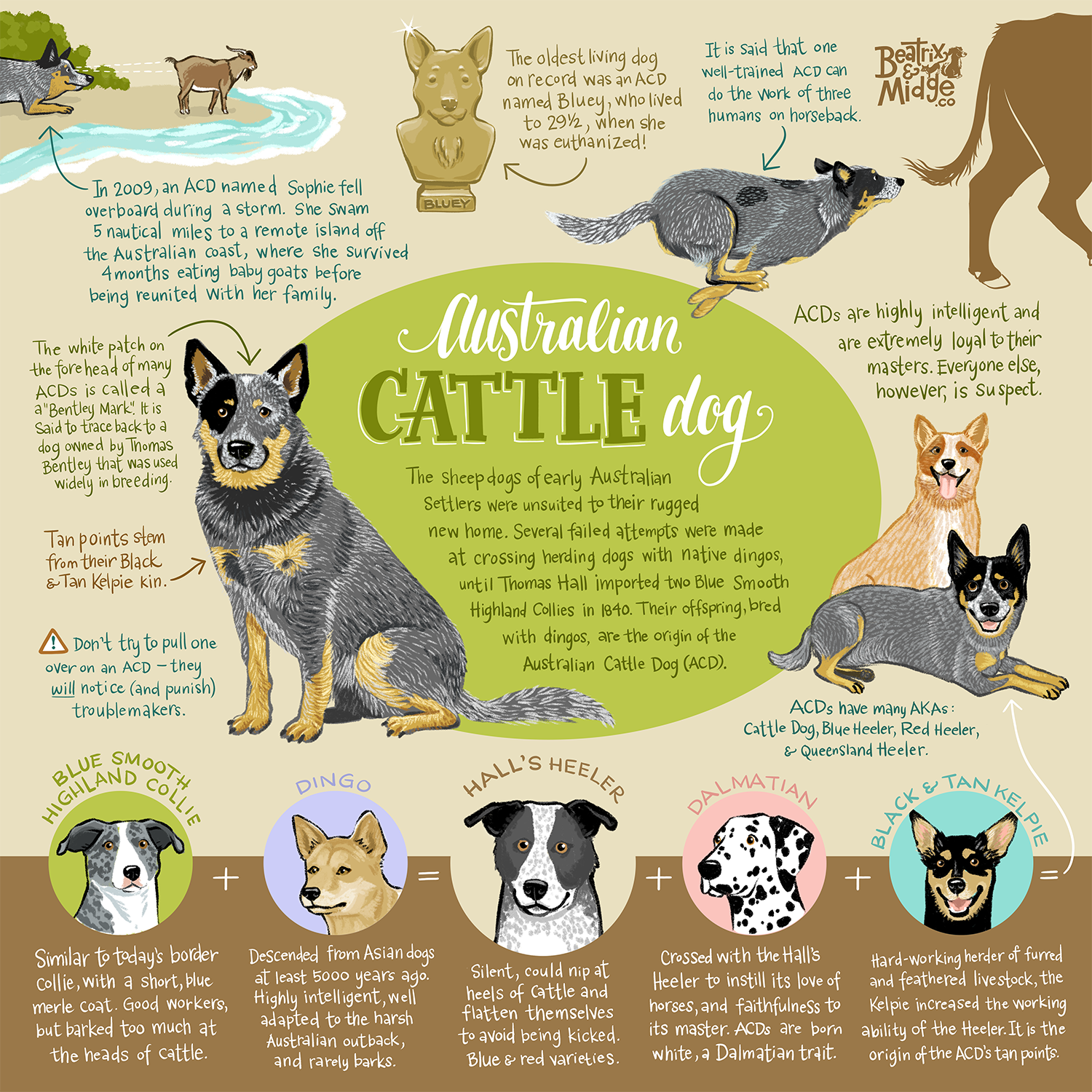 Australian Cattle Dog Infographic Print Blue Heeler Dogs Austrailian Cattle Dog Dog Infographic