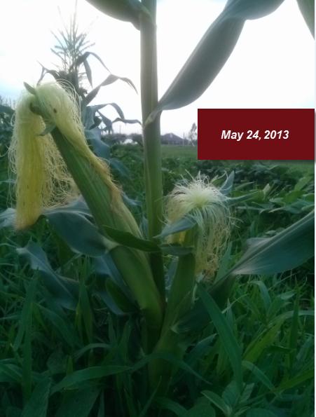 Environmental Effects on Corn
