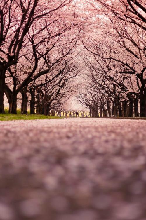 Cherry Blossom Snow By Takpanda Cherry Blossom Wallpaper Cherry Blossom Background Cherry Blossom Tree