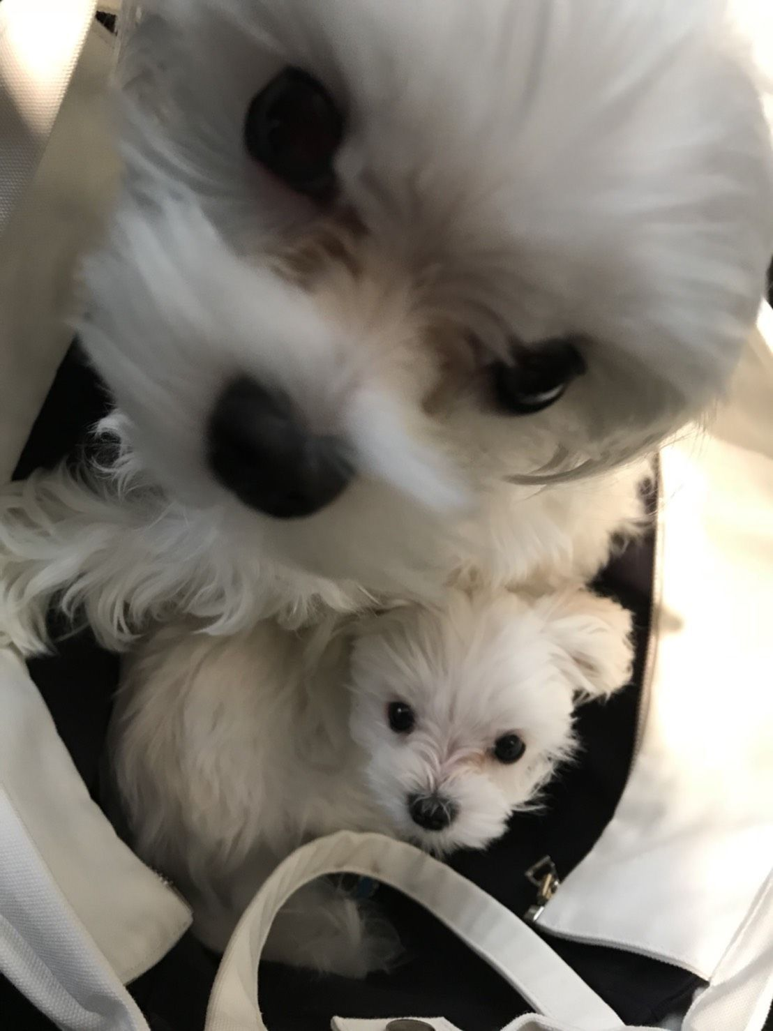 Pin By Tracielee On Dogs With Images Teacup Puppies Maltese