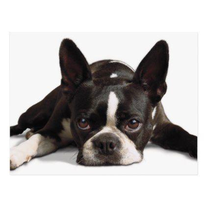 #Lazy Boston Terrier Postcard - #boston #terrier #puppy #dog #dogs #pet #pets #cute #bostonterrier