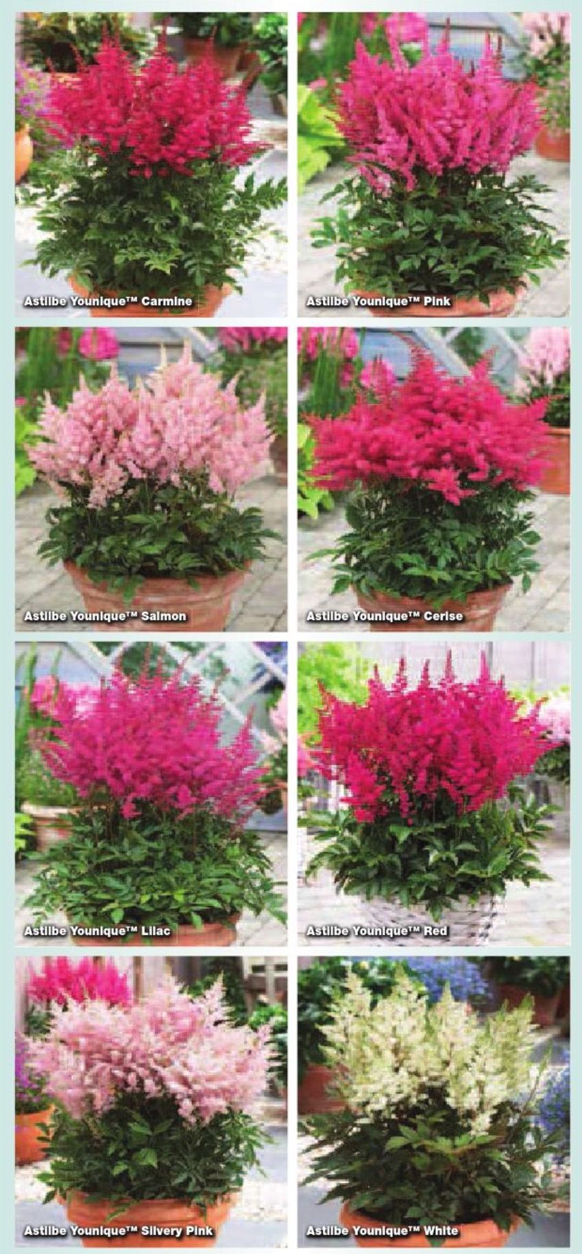 """Astilbe Younique Series - 8 colors. This hybrid from Dutch hybridizer Jan Verschoor tolerates heat & dryness better than most other astilbe. This hybrid has desirable improvements: earlier bloom time; more compact, rounded growing habit; more flower plumes in attractive bunches per plant; & increased disease resistance. 16-20"""" tall when in bloom."""