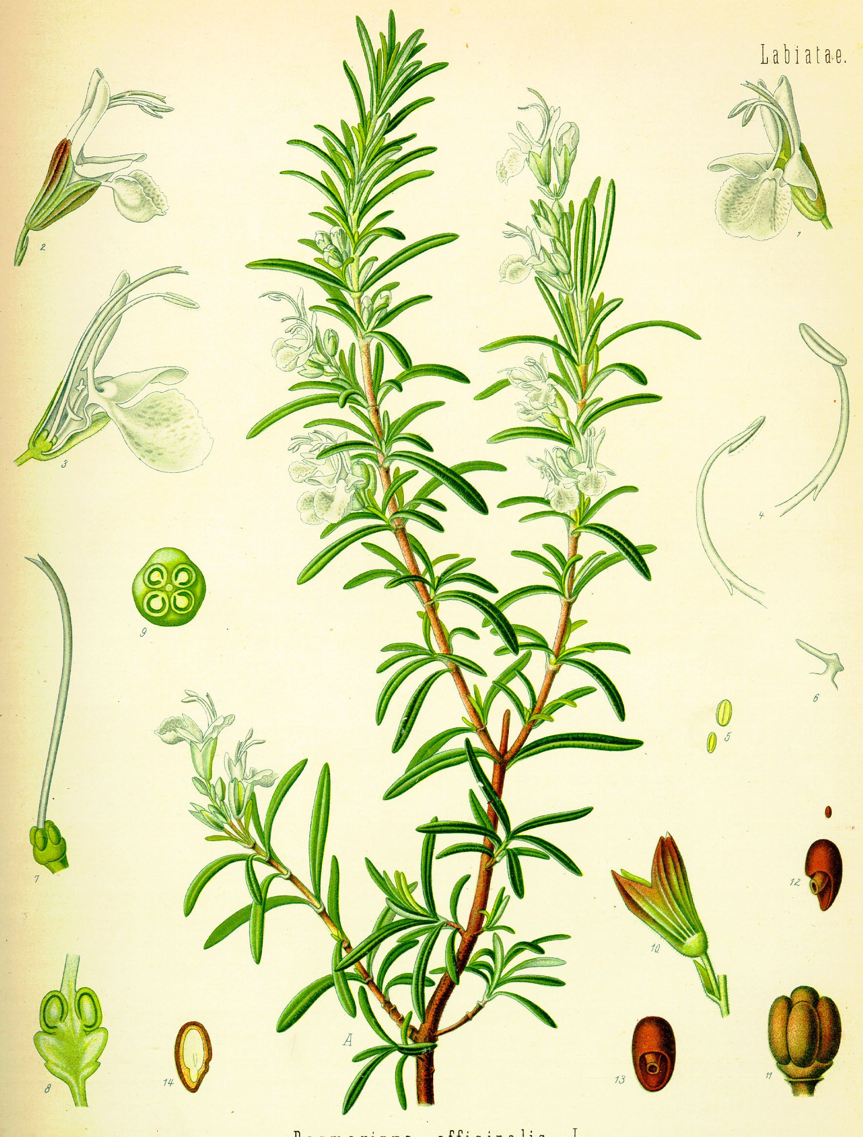 medium resolution of rosmarinus officinalis botanical drawings botanical prints botanical illustration plant illustration rosemary plant